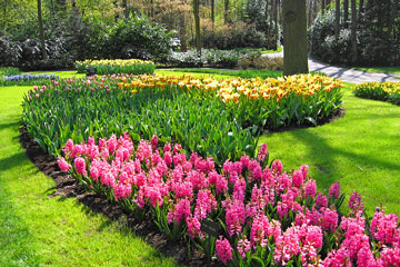 pink hyacinths and yellow tulips in a botanical garden
